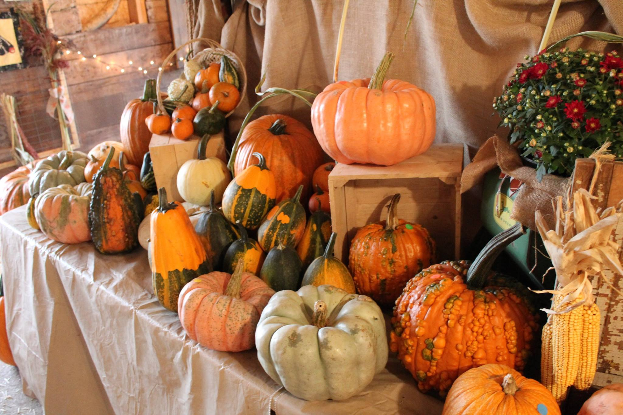 Pumpkins for Sale at Pearson Family Farm
